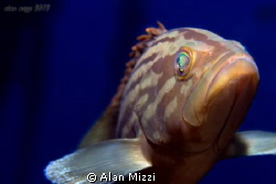 Very friendly yellow patched grouper. by Alan Mizzi 
